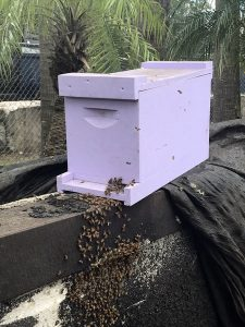 The new lavender colored box hive that will be the safe new home for the honey bees.